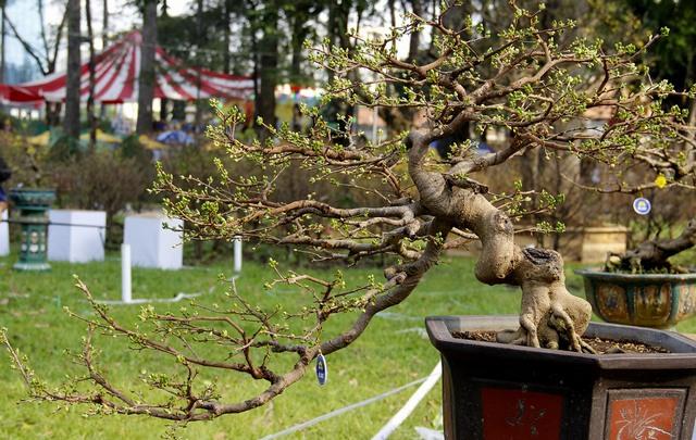 cách chăm sóc cây mai bị yếu