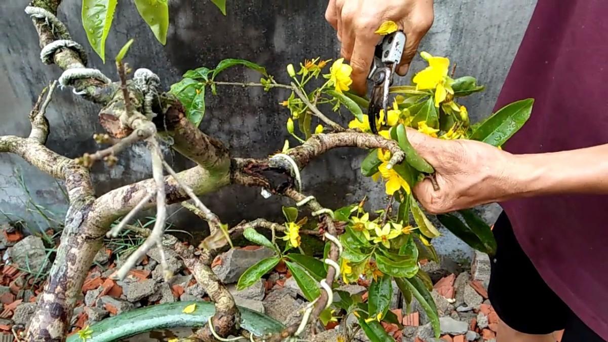 Chăm sóc cây mai trong chậu